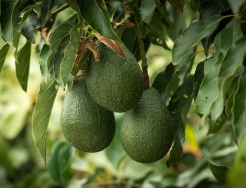 Avocados exported to China